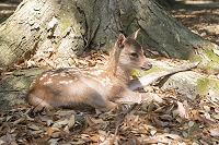 奈良公園 木立の根元で休む赤ちゃんの鹿