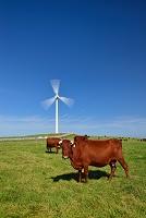 岩手県 稲庭高原 高曲原放牧場 風力発電風車と短角牛