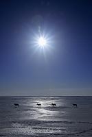 北海道 エゾシカ 牡鹿 氷原 太陽 トドワラ 野付半島