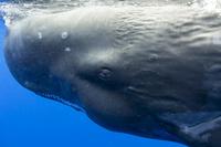 マッコウクジラの横顔