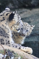 ユキヒョウ 多摩動物公園