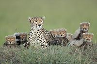 チーターの赤ちゃんと母親