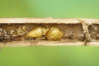 オオフタオビドロバチ蛹 竹筒