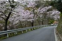兵庫県 川西 満開の桜と五月山ドライブウェイ