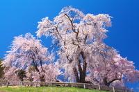 長野県 勝間薬師堂の枝垂れ桜