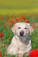 ラブラドールレトリバー 成犬