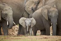アフリカゾウの群れ