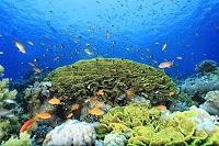 サンゴ礁 キンギョハナダイ
