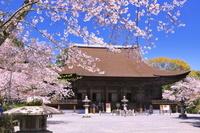 滋賀県 桜の咲く三井寺