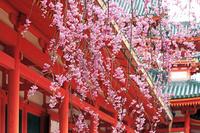 京都府 平安神宮 桜
