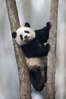 ジャイアントパンダの赤ちゃん                                ...