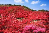 奈良県 御所市 葛城山のツツジ