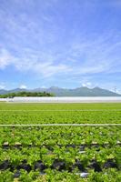 長野県 セロリ畑と八ヶ岳