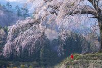 群馬県 春の上発知の枝垂れ桜