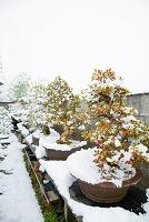 雪と盆栽棚 さつき 春の苑など