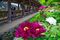 奈良県 ボタンの咲く長谷寺