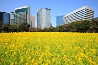 東京都 浜離宮 菜の花畑