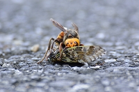 セミを襲うスズメバチ