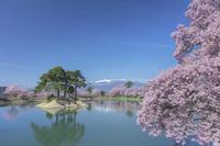 長野県 六道の堤の桜 コヒガンザクラ