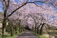 栃木県 桜咲く太平山遊覧道路