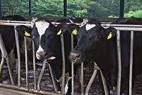 栃木県 那須塩原市 個体識別番号のタグをつけた乳牛