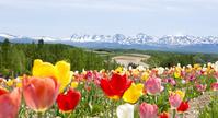 北海道 チューリップが咲き誇る四季彩の丘