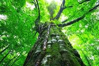 秋田県 白神山地 巨木