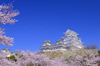 兵庫県 姫路城の桜 青空
