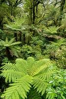 ニュージーランド シダ類