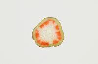 ホウセンカ 赤色染色吸水実験  茎 横断面