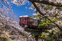 兵庫県 桜と阪急甲陽線