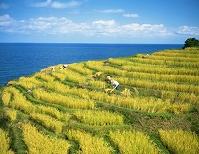 石川県 白米の千枚田稲刈り