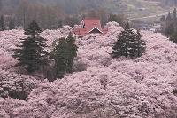 高遠城址公園 高遠小彼岸桜 高遠閣