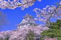 日本 滋賀県 桜の咲く長浜城