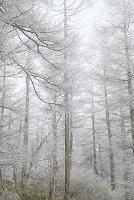 長野県 塩尻市 高ボッチ高原 霧に包まれる霧氷のカラマツ林