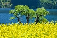 長野県 北竜湖の菜の花