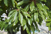 ユズリハ - 枝先、葉の付き方