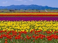 新潟県 チューリップ畑