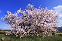 熊本県 一心行の大桜