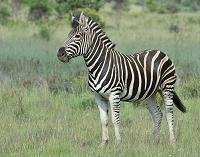 南アフリカ シマウマ