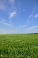 佐賀市 佐賀平野 大麦畑