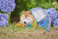 柴犬と紫陽花