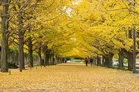 昭和記念公園 イチョウ並木