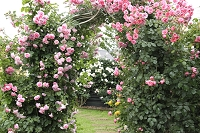 満開のバラのアーチ
