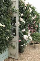 壁に咲く満開のバラ