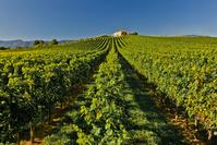 イタリア コネリアーノのブドウ畑