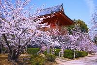 京都府 仁和寺の桜