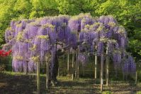 栃木県 あしかがフラワーパークの藤