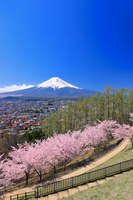 山梨県 新倉山浅間公園の桜並木と富士山