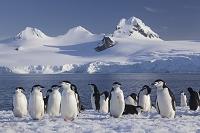 南極 ハーフムーン島 ヒゲペンギンの群れ